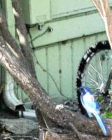 Blue Jay and Bicycle Wheel