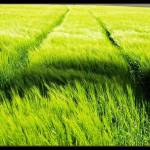 """Green_Grass"" by Bufoto"