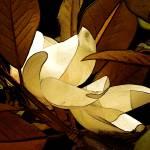 """Magnolia Blossom"" by MindsEyeImagery"