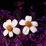 """""""Daisies"""" by EnjoyART"""
