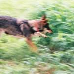 """Wolf in Motion"" by carolcam"