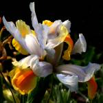 """Iris"" by RonaBlack"