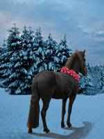 Holiday Wish ~ Icelandic horse
