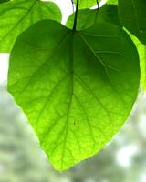 Green Heart Leaf