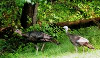 A Turkey Pair