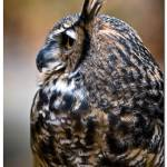 """25183 - Great Horned Owl"" by ExpectantAlchemist"