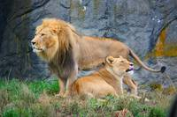 Lion and Lioness couple