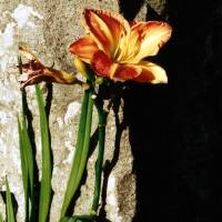 Day Lily Art Prints & Posters by Barry Johansen