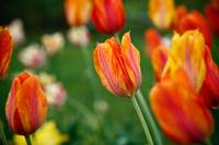 Orange Tulips, Brooklyn Botanical Garden