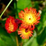 """Orange Hawkweed"" by PASpencer"