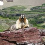 """Marmot"" by MorningStarPhotos"