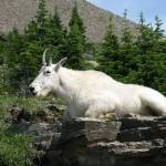 """Mountain Goat"" by MorningStarPhotos"