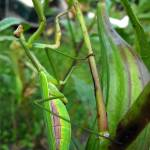 """""""Mantis in the Okra"""" by waldeneffect"""