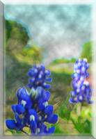 Bluebonnets in Pastel
