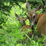 """Fawn and Mother Whitetail Deer"" by MorningStarPhotos"