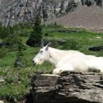 """Mountain Goat"" by MorningStarPhotos"