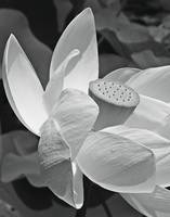 Lotus (Black and White)