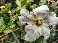 Hazelnut Flower