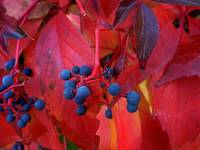 Red Leaves Blue Berries