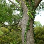 """""""tree flaunting garland of vine"""" by adriannah"""
