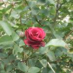 """Red and Black Rose"" by Cayce_Dagenhart"