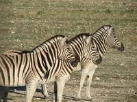 Juxtaposed zebras