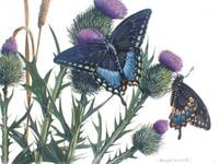 Spicebush Butterfly and Canada Thistle
