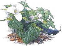 Black thoated blue warbler and Trilliums