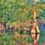 """Finch Lake cypress"" by Finchlake"