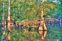Finch Lake cypress