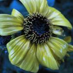 """Yellow flower in rain _5627"" by davies"