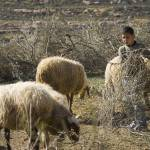"""Palestinian Boy Tending Sheep"" by jcarillet"