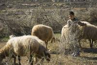 Palestinian Boy Tending Sheep