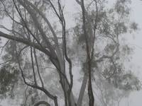 Tree in Fog _1048