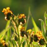"""Tiny yellow meadow flowers_4108"" by davies"
