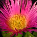 """Pink coastal flower_4222"" by davies"