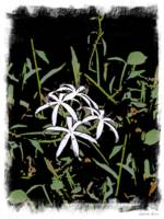 Swamp Lilies