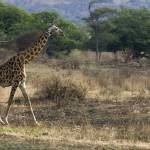 """Giraffe in the Wild"" by patgleasonphotography"