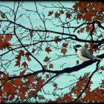 """chickadee in autumn"" by sarahkdesigns"