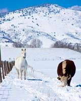 Horse and Cow in the Snow