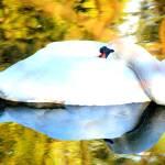 """Swan Lake"" by Kenneth_MacLeod"