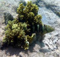 juvie with coral