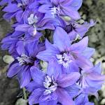 """""""Purple frilly flowers"""" by Lilykins"""