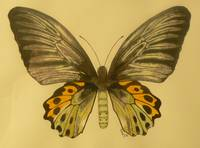 Troides butterfly