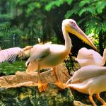 """Pelican from Bird Park"" by pappu"