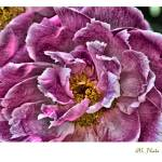"""The Pink Peony"" by JAS_Photo"