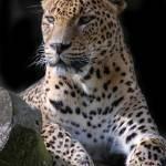"""""""Sri Lanken Leopard"""" by chriswh"""