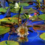 """Water Lilies"" by PaulGaitherPhotography"