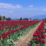 """Fields of Tulips #024211"" by anselprice"