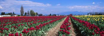 Fields of Tulips #024211